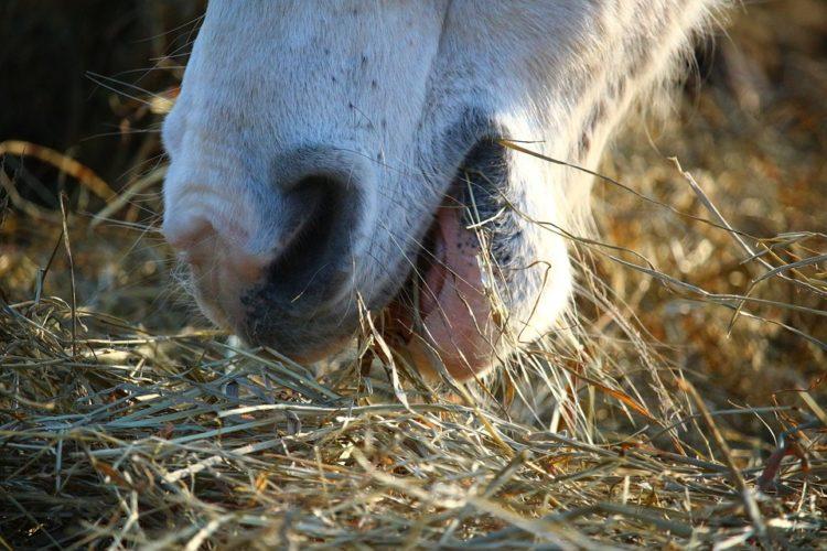 Szénát eszik a ló
